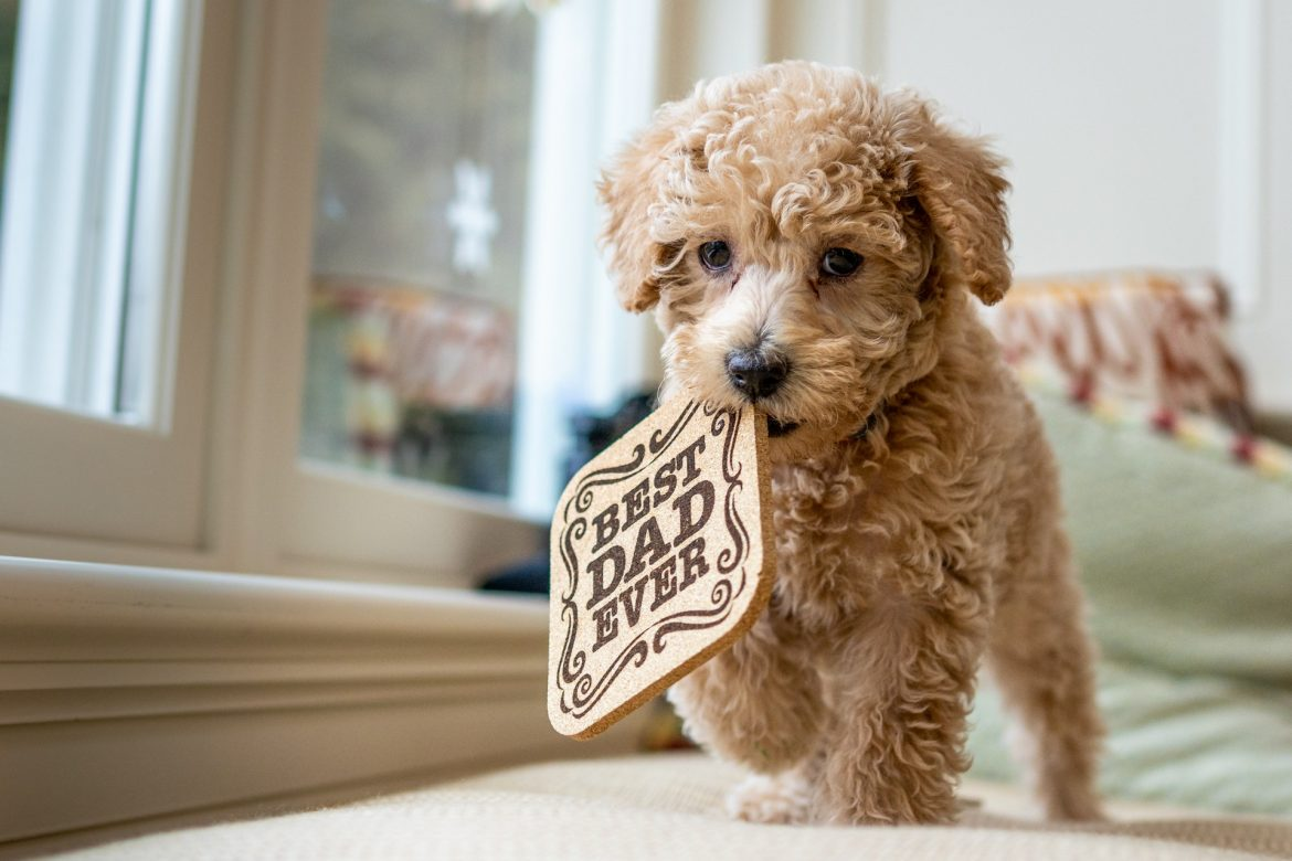 Over Labradoodle-puppy